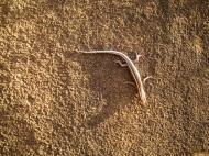 Asisbiz Australian Lizard Noosa 02