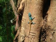 Asisbiz Lizard Myanmar Hmawbi 01