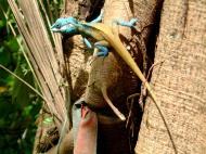 Asisbiz Lizard Myanmar Hmawbi 02