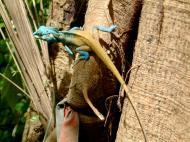 Asisbiz Lizard Myanmar Hmawbi 03