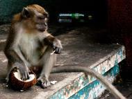Asisbiz Cynomolgus Monkey male Selangor Sri Subramaniam Kovil Batu Caves Malaysia Dec 2011 01