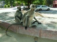 Asisbiz Monkey India Rajasthan Udaipur 001