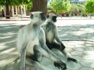 Asisbiz Monkey India Rajasthan Udaipur 002
