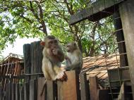 Asisbiz Monkey Myanmar Bilin Kyaik Hti Saung pagoda 01