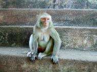 Asisbiz Monkey Myanmar Pagan Mount Popa 01