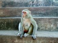 Asisbiz Monkey Myanmar Pagan Mount Popa 02