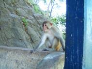 Asisbiz Monkey Myanmar Pagan Mount Popa 03