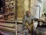 Asisbiz Monkey Nepal Kathmandu Monkey Pagoda 01