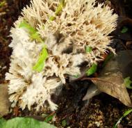 Asisbiz Medicinal fungi Ganoderma lucidum Mindoro Oriental Philippines 10