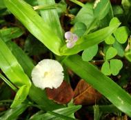 Asisbiz Medicinal fungi Ganoderma lucidum Mindoro Oriental Philippines 11