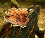 Asisbiz Medicinal fungi Ganoderma lucidum Mindoro Oriental Philippines 13
