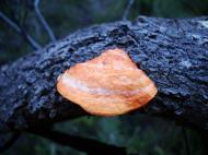 Asisbiz Medicinal fungi Ganoderma lucidum Noosa National Park 01