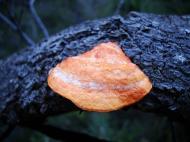 Asisbiz Medicinal fungi Ganoderma lucidum Noosa National Park 02