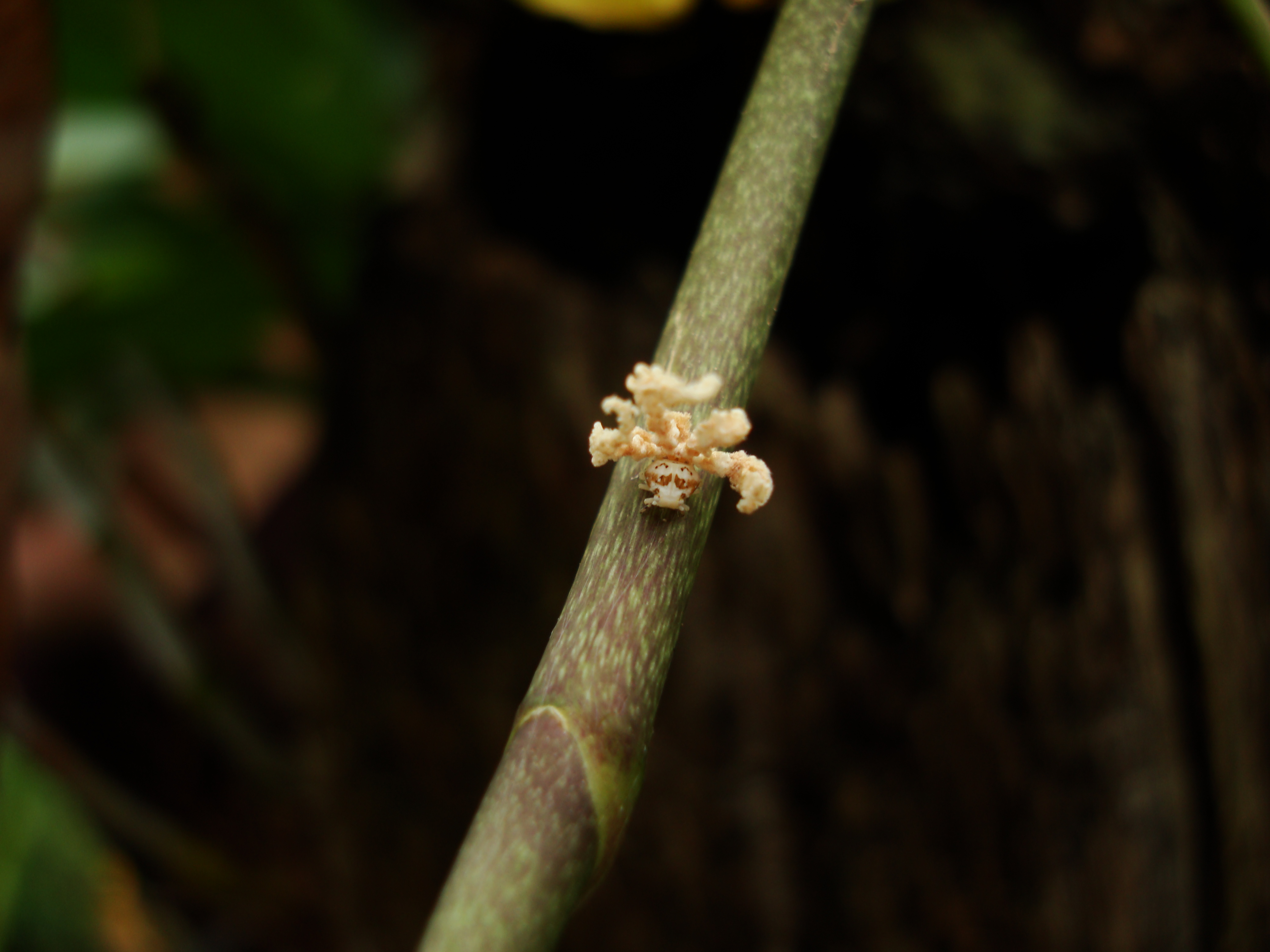 Bugs New Species Philippines Orchid Beattle 02