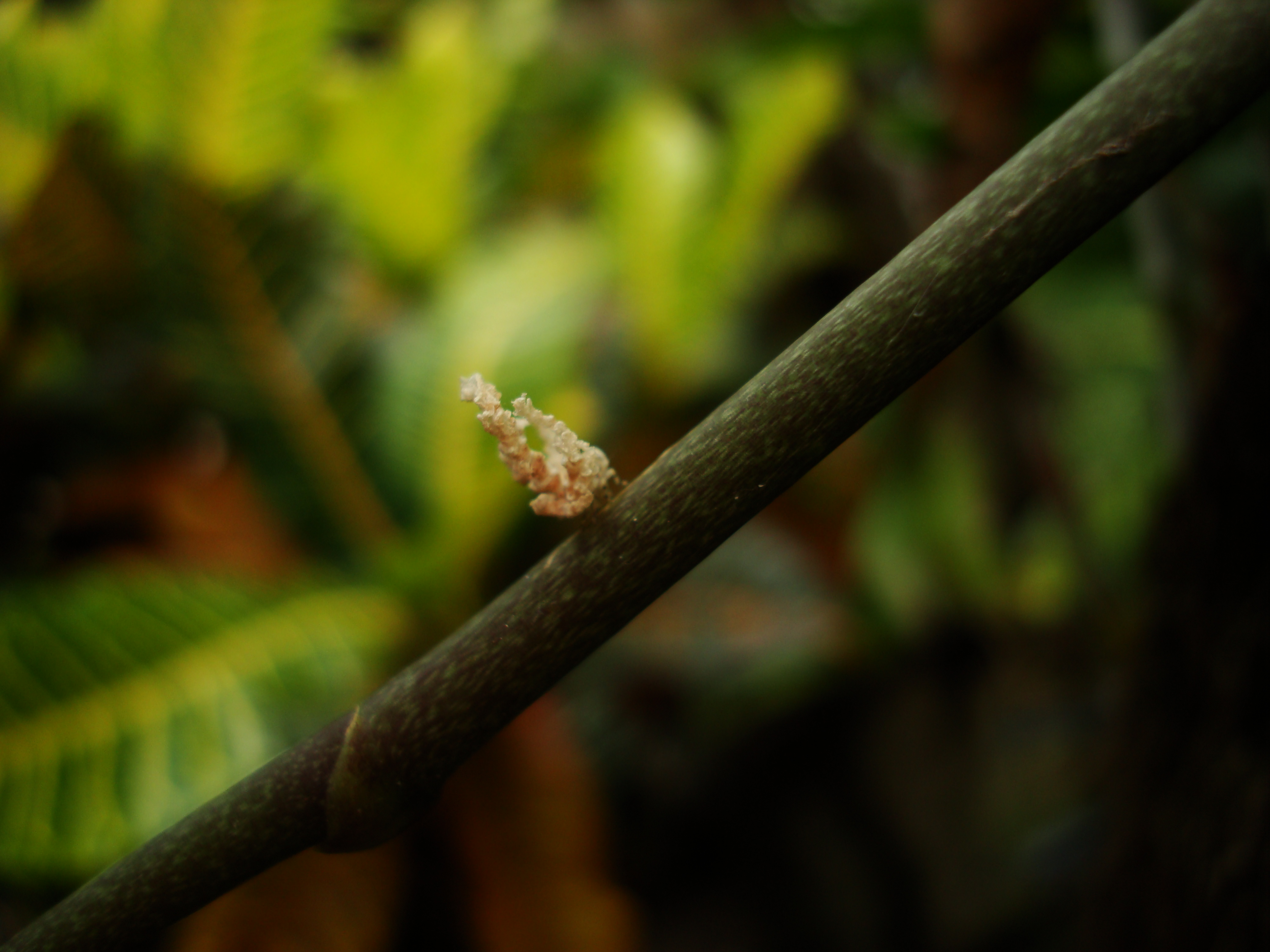 Bugs New Species Philippines Orchid Beattle 14