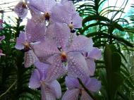 Asisbiz Orchid farm Moal Boal Cebu Philippine 04