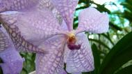 Asisbiz Orchid farm Moal Boal Cebu Philippine 05