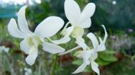 Asisbiz Orchid farm Moal Boal Cebu Philippine 06