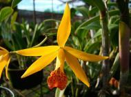 Asisbiz Orchid farm Moal Boal Cebu Philippine 10