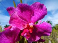 Asisbiz Orchid farm Moal Boal Cebu Philippine 20