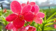 Asisbiz Orchid farm Moal Boal Cebu Philippine 24