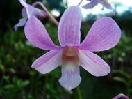 Asisbiz Orchid farm Moal Boal Cebu Philippine 30