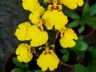 Asisbiz Orchid farm Moal Boal Cebu Philippine 36