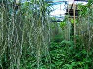Asisbiz Orchid farm Moal Boal Cebu Philippine 38