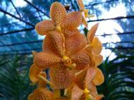 Asisbiz Orchid farm Moal Boal Cebu Philippine 39