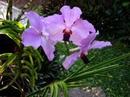 Asisbiz Orchids Soliman Paraiso gardens Tabinay Mindoro Oriental Philippine 005