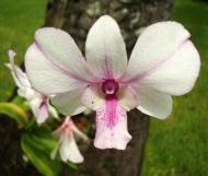 Asisbiz Orchids Soliman Paraiso gardens Tabinay Mindoro Oriental Philippine 011