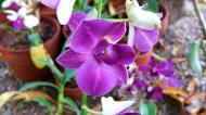 Asisbiz Orchids Soliman Paraiso gardens Tabinay Mindoro Oriental Philippine 013
