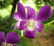 Asisbiz Orchids Soliman Paraiso gardens Tabinay Mindoro Oriental Philippine 024