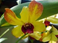 Asisbiz Orchids Soliman Paraiso gardens Tabinay Mindoro Oriental Philippine 038
