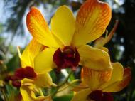 Asisbiz Orchids Soliman Paraiso gardens Tabinay Mindoro Oriental Philippine 039