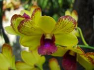 Asisbiz Orchids Soliman Paraiso gardens Tabinay Mindoro Oriental Philippine 043