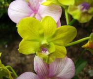Asisbiz Orchids Soliman Paraiso gardens Tabinay Mindoro Oriental Philippine 046