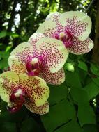Asisbiz Orchids Soliman Paraiso gardens Tabinay Mindoro Oriental Philippine 048