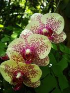 Asisbiz Orchids Soliman Paraiso gardens Tabinay Mindoro Oriental Philippine 049