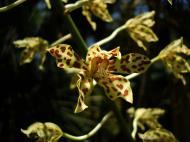 Asisbiz Orchids Soliman Paraiso gardens Tabinay Mindoro Oriental Philippine 071