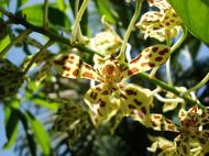 Asisbiz Orchids Soliman Paraiso gardens Tabinay Mindoro Oriental Philippine 074