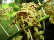 Asisbiz Orchids Soliman Paraiso gardens Tabinay Mindoro Oriental Philippine 075