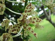 Asisbiz Orchids Soliman Paraiso gardens Tabinay Mindoro Oriental Philippine 077