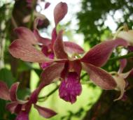 Asisbiz Orchids Soliman Paraiso gardens Tabinay Mindoro Oriental Philippine 083