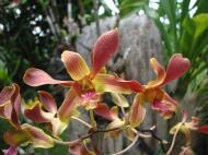 Asisbiz Orchids Soliman Paraiso gardens Tabinay Mindoro Oriental Philippine 089