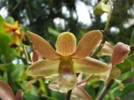 Asisbiz Orchids Soliman Paraiso gardens Tabinay Mindoro Oriental Philippine 090