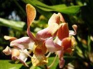 Asisbiz Orchids Soliman Paraiso gardens Tabinay Mindoro Oriental Philippine 093