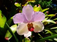 Asisbiz Orchids Soliman Paraiso gardens Tabinay Mindoro Oriental Philippine 097