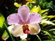 Asisbiz Orchids Soliman Paraiso gardens Tabinay Mindoro Oriental Philippine 098