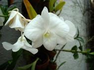 Asisbiz Orchids Soliman Paraiso gardens Tabinay Mindoro Oriental Philippine 104